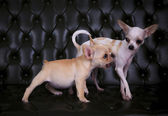 Lovely playing  acting of french bulldog and chihuahua dogs on b — Zdjęcie stockowe