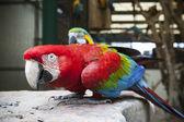 Close up face of Green-winged Macaw, Ara chloropterus eating sun — Stock Photo