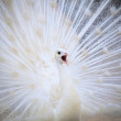 White male indian peacock with beautiful fan tail plumage feathe — Stock Photo #45308493