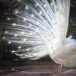 White male indian peacock with beautiful fan tail plumage feathe — Stock Photo #45650733