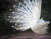 White male indian peacock with beautiful fan tail plumage feathe — Stock Photo