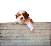 Cachorro shitzu y madera panel de fondo — Foto de Stock