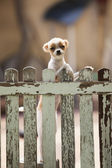 Pomeranian puppy dog climbing old wood fence  — Stock Photo