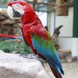 Side view of Green-winged Macaw, Ara chloropterus perching on ro — Stock Photo