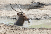 Sambar deer lying in mud pool use for wildlife in nature and zoo — Stock Photo
