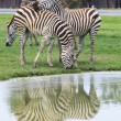 Three zebra on green field eating grass leaves use for african a — Stock Photo #46518867