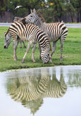 Three zebra on green field eating grass leaves use for african a — Stock Photo