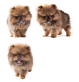 Pomeranian puppy dog isolated white background — Stock Photo