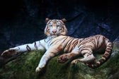 Special color tiger lying with relaxing on rock clift and lookin — Stock Photo