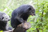 Close up binturong in nature wild — Stockfoto