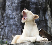 Female white lion lying on rock cliff and roar — Stock Photo