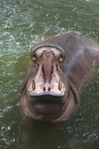 Hippo open mouth — Stock Photo