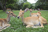 Close up of wild deer in open zoo use for animals wild life in z — Stock Photo