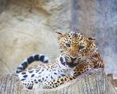 Close-up van gezicht voor gevaarlijke boos luipaard tiger in wild — Stockfoto