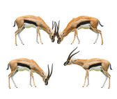 Thomson's gazelle four acting isolated white background use for — Stock Photo