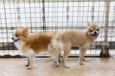 Male and female pomeranian dog mating — Stock Photo
