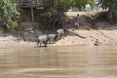 Champasak Loas-NOVEMBER 22 :water buffalo local cattle standing  — Stock Photo