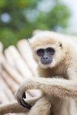 Close up face of White Cheeked ,white hand Gibbon or Lar Gibbon — Stock Photo