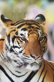 Close up face of indochinese tiger use for animals and wild life — Stock Photo