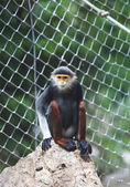 Red-shanked douc sitting on rock in animals zoo — Stock Photo