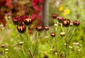 半开的菊花在秋天的花园 — 图库照片