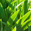 Green background made by iris flower leaves — Stock Photo