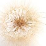 Fluffy head of salsify flower — Stock Photo