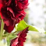 Beautiful and bright mallow close-up — Stock Photo #27853527