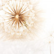 Stock Photo: Half bald head of salsify