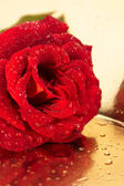 Bright red rose in a dew — Stock Photo