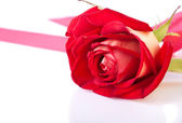Fresh and bright rose flower — Stock Photo