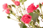 Delicate spray roses — Stock Photo