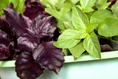 Two types of the basil greens — Stock Photo