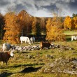 Autumn colored landscape, grazing cattle — Stock Photo
