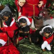 Stock Photo: Miniature Pinschers and Christmas greetings