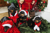 Miniature Pinschers and Christmas greetings — Stock Photo