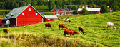 Old farm and grazing cattle — Stock Photo