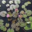 Pink lotus blossom or water lily flower blooming on pond — Stock Photo