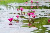 Pink lotus blossom — Stock Photo
