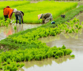 Laos farmer planting on the paddy rice farmland — Stock Photo
