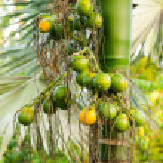 Closeup ripe areca nut or Areca catechu, raw betel nut — Stock Photo