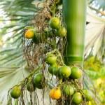 Closeup ripe areca nut or Areca catechu, raw betel nut  — Stock Photo #34507255