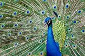孔雀は彼の羽を上げる — ストック写真