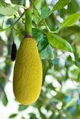 Fresh Jackfruit growing on a tree — Stock Photo