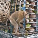 Monkey Macaque Coconut Sit — Stock Photo