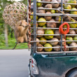 Monkey Macaque Coconut Sit — Stock Photo