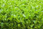 Water Hyacinth cover a pond — Stock Photo