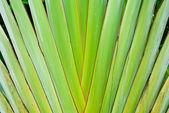Texture of thai banana stem — Stock Photo