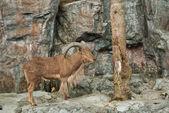 Brown mountain goat — Stock Photo