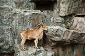 Brown mountain goat — Stock Photo